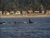 Killer Whales off South Beach